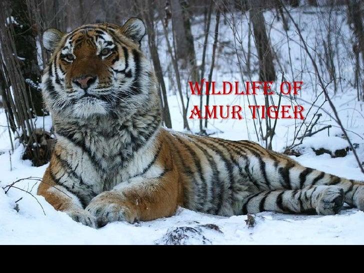 Wildlife ofamur tiger
