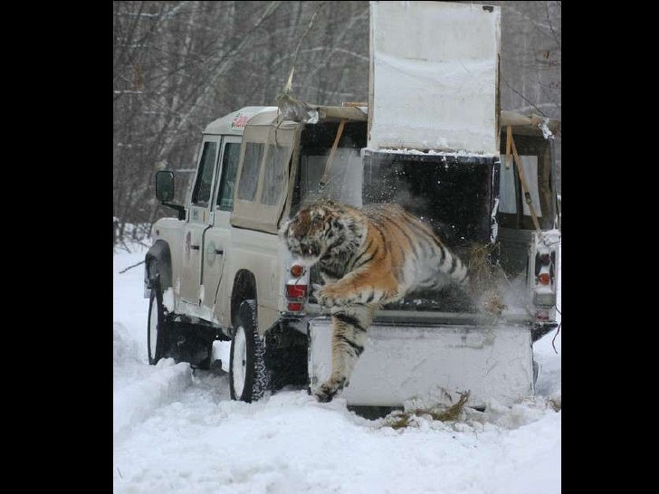 Wildlife of amur tiger Slide 2