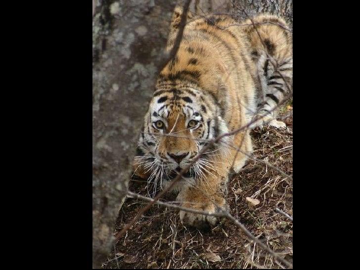 Wildlife of amur tiger Slide 3