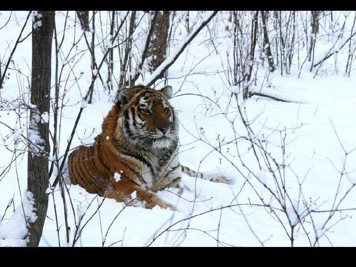 Wildlife of amur tiger
