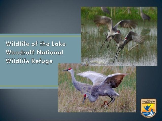 Total of 357species reported onRefuge• 234 species of  birds• 26 species of fish• 26 species of  amphibians• 49 species of...
