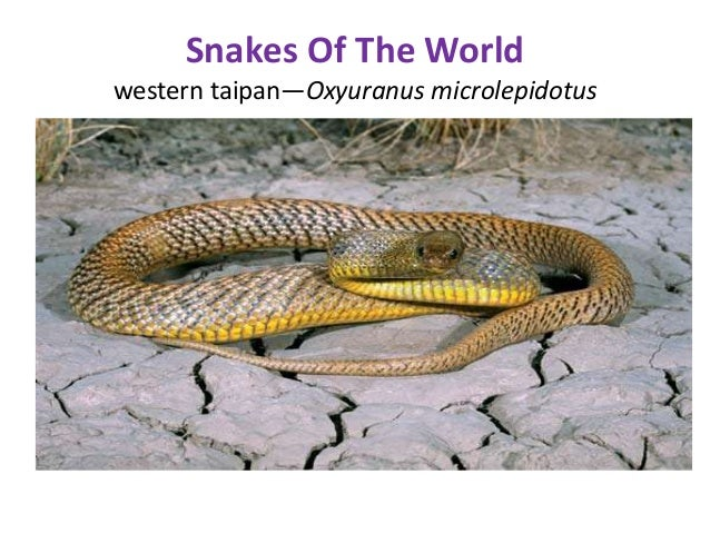 an introduction to the analysis of the oxyuranus microlepidotus Novel natriuretic peptides from the venom of the inland taipan (oxyuranus microlepidotus): isolation, chemical and biological characterisation.