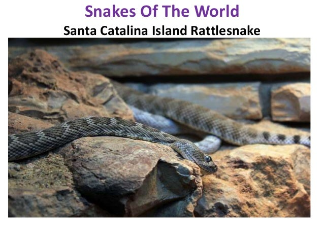 an introduction to the analysis of the oxyuranus microlepidotus Often cited as the world's most venomous snake, the inland taipan is far from the  most dangerous unlike its congener, the common and.