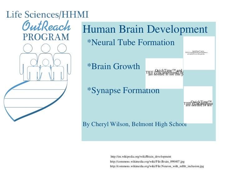 Human Brain Development *Neural Tube Formation                                                                           Q...