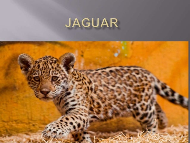  Jaguars are the only big cats in America They also live in Brazil They have a long tail supposedly used tocatch fish ...