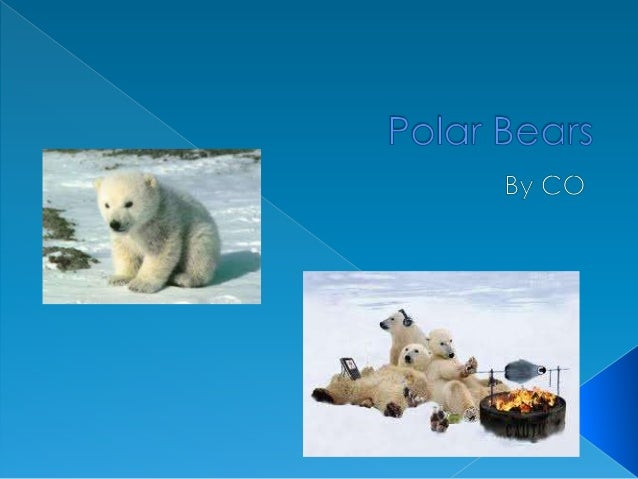 Polar bears can weigh more than 1,300pounds. A polar bears favorite food is aseal. A polar bear will lay above the icefor ...