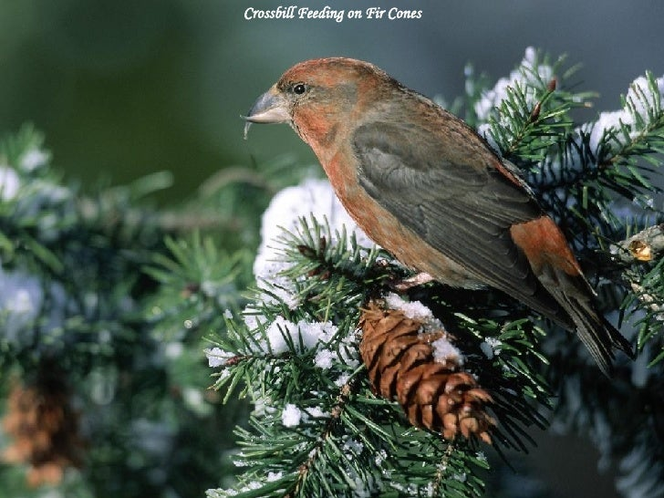 Crossbill Feeding on Fir Cones
