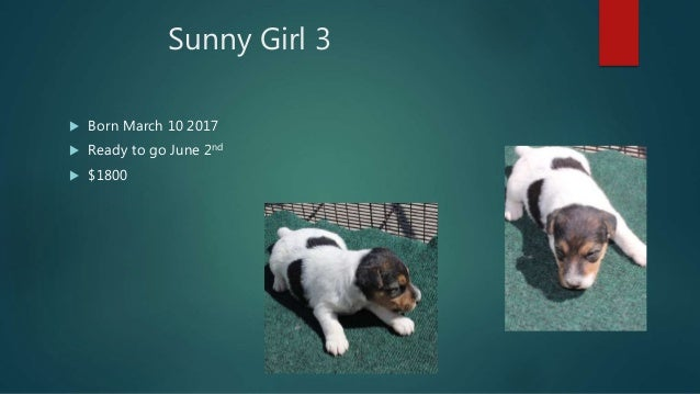 Wire Fox Terrier Puppies For Sale April 2017
