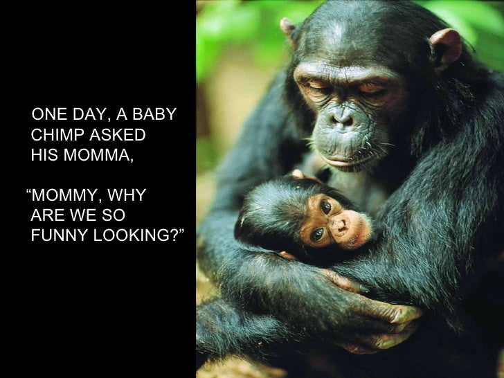 """ONE DAY, A BABY CHIMP ASKED HIS MOMMA, """" MOMMY, WHY  ARE WE SO FUNNY LOOKING?"""""""