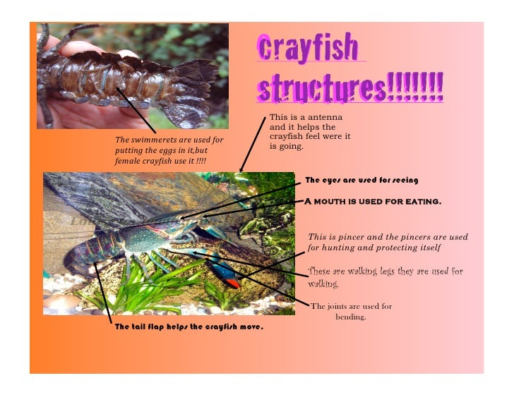 crayfish                                    Crayfish                                    structures!!!!!!!                 ...