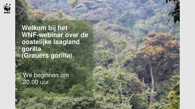 Welkom bij het WNF-webinar over de oostelijke laagland gorilla (Grauers gorilla). We beginnen om 20.00 uur.