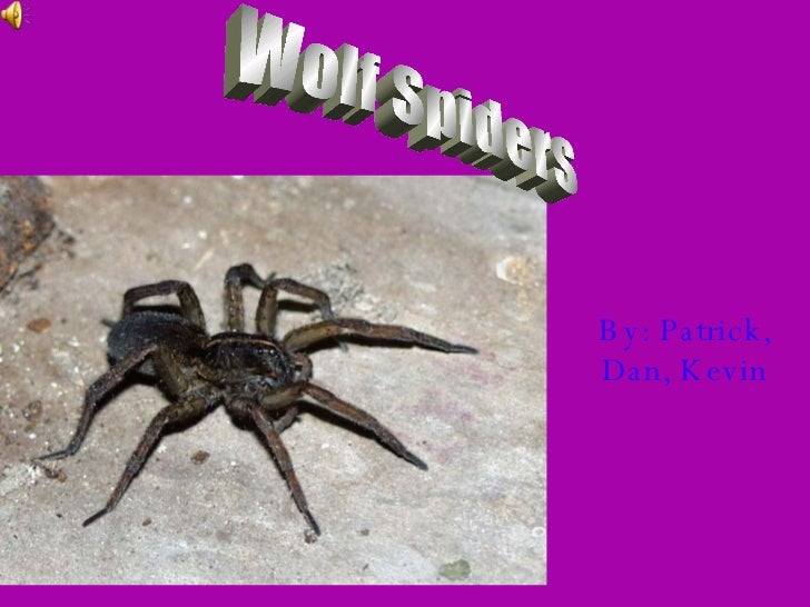 By: Patrick, Dan, Kevin Wolf Spiders