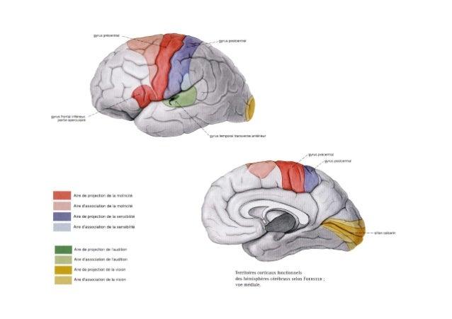 Les aires primaires, motrices, sensitives ou sensorielles n'occupent qu'une portion limitée du néo-cortex AVC n'est pas fo...