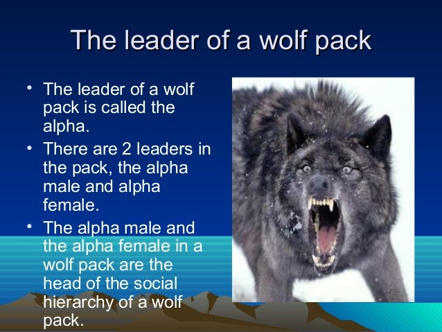 Can Female Dogs Be Alpha Male