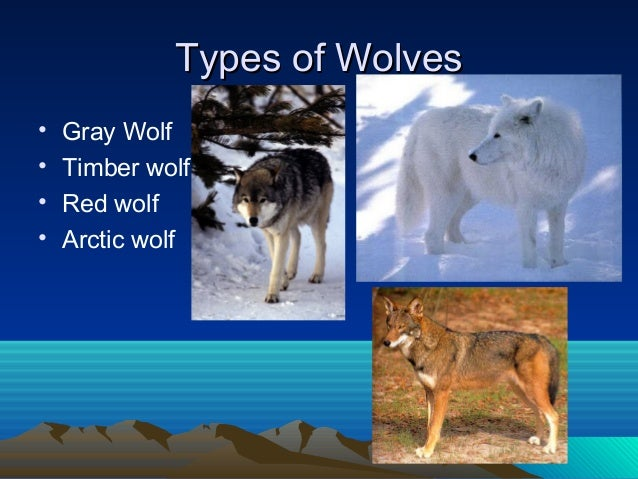 The Life Of Wolves And Some Facts About Them