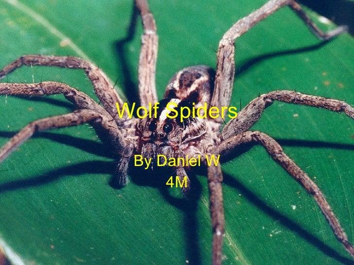 Wolf Spiders By Daniel W 4M