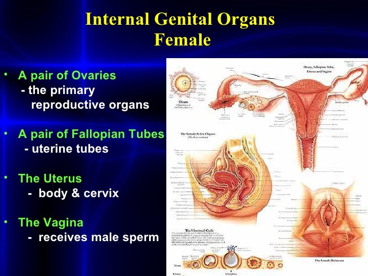 Womens disordersppt womens disorders 2 internal genital organs ccuart Images