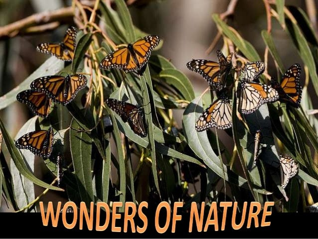 Monarch butterflies are renowned for their migration. Yet no single monarch has ever completed the 2,000 mile round trip –...