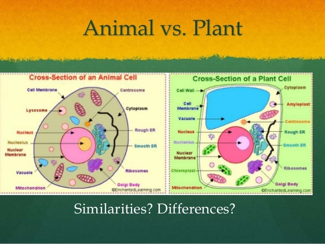 plant vs animal mitosis