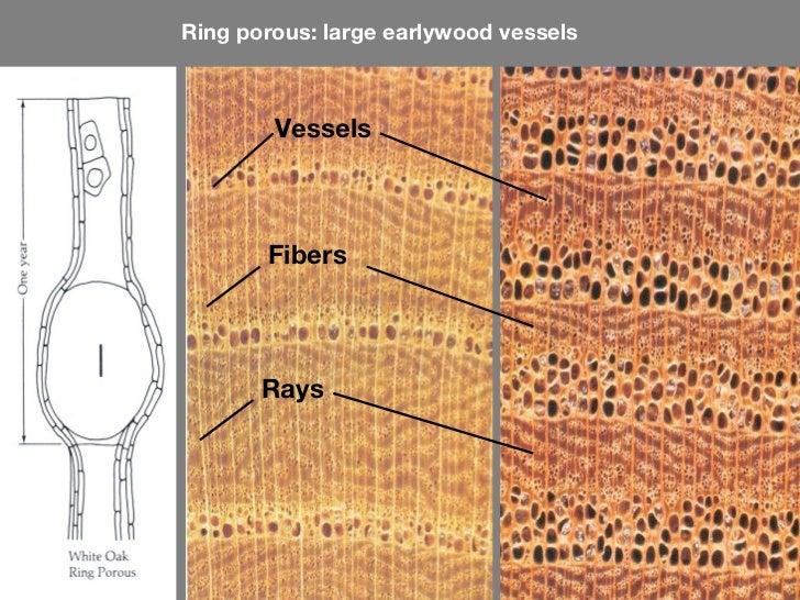 Oak Tree Ring Porous