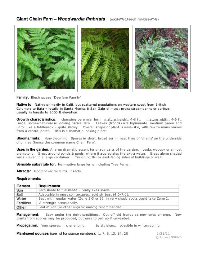 Giant Chain Fern – Woodwardia fimbriata  (wood-WARD-ee-uh fim-bree-AY-ta)  Family: Blechnaceae (Deerfern Family) Native to...