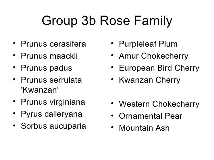 Group 3b Rose Family <ul><li>Prunus cerasifera </li></ul><ul><li>Prunus maackii </li></ul><ul><li>Prunus padus </li></ul><...