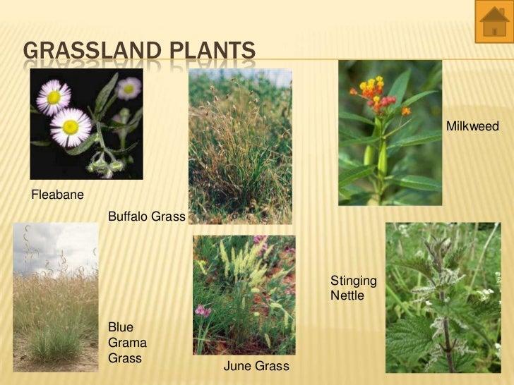 Grassland Plants List