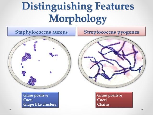 acute morphology of streptococcus pyogenes essay