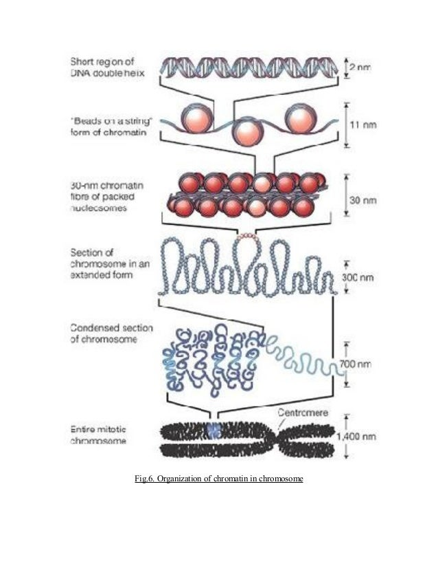 STRUCTURE AND ORGANIZATION OF CHROMATIN