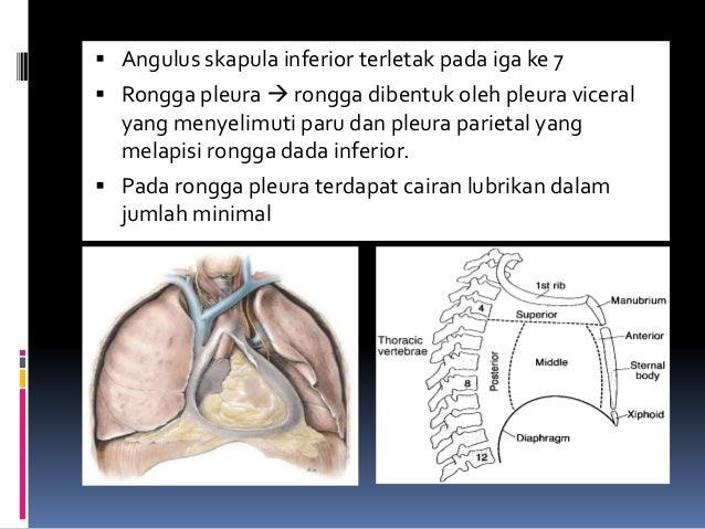  Angulus skapula inferior terletak pada iga ke 7  Rongga pleura  rongga dibentuk oleh pleura viceral yang menyelimuti p...
