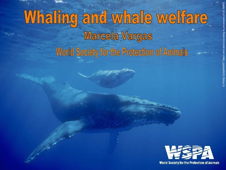 Marcela Vargas Whaling and whale welfare World Society for the Protection of Animals © Phillip Colla/HWRF Taken and used a...