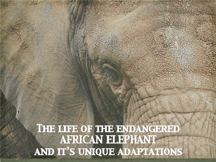•African elephants stand 13 feet tall •Weigh 5 tons •Largest mammal to walk the earth for over 55 million years! •Due to p...