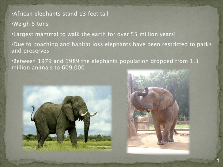 The Life of the Endangered African Elephant and it's Unique Adaptatio…