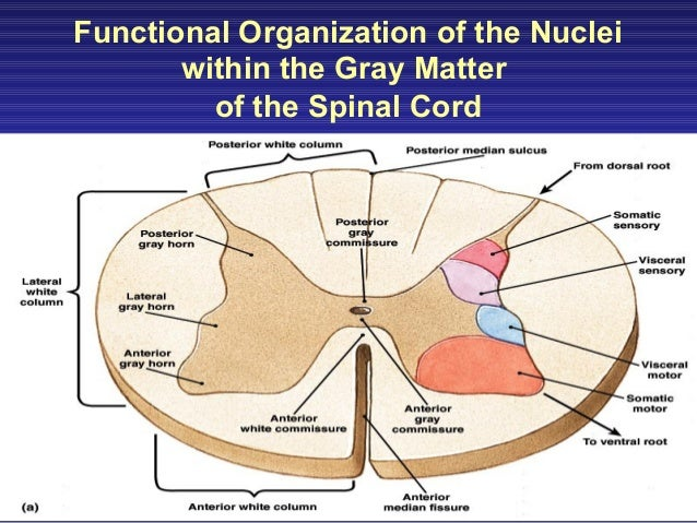 Functional anatomy of the spinal cord