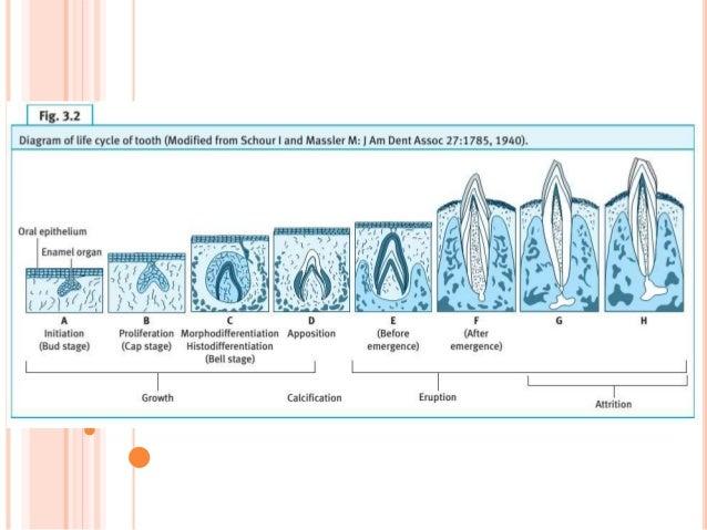 tooth development