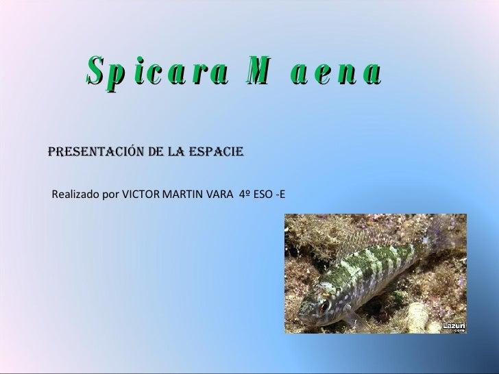 Spicara Maena Presentación De La Espacie Realizado por VICTOR MARTIN VARA  4º ESO -E