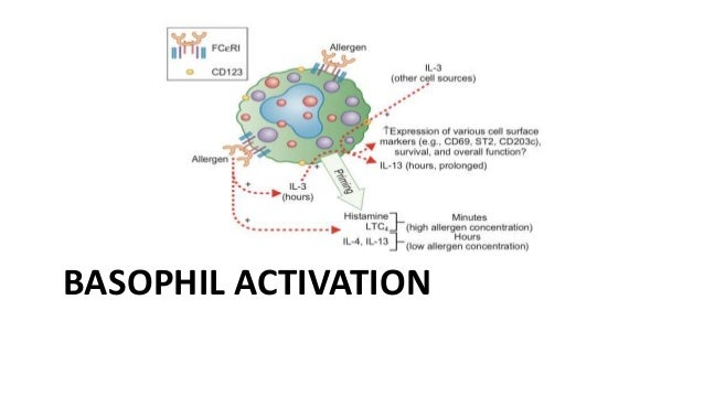Biology of basophils basophil activation 1 ccuart Choice Image