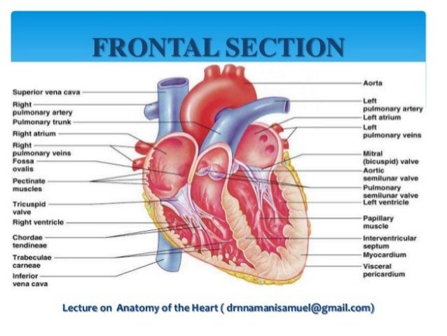 cardiac anatomy ( heart anatomy)