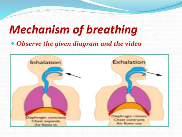 The human respiratory system ppt1pptx respiratory system consists of nostrils nasal cavity pharynx trachea bronchi bronchioles alveoli 24 ccuart Choice Image