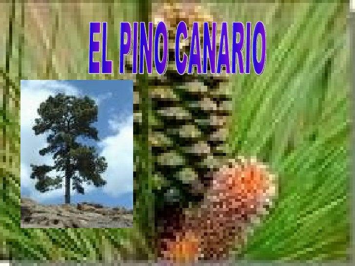 EL PINO CANARIO