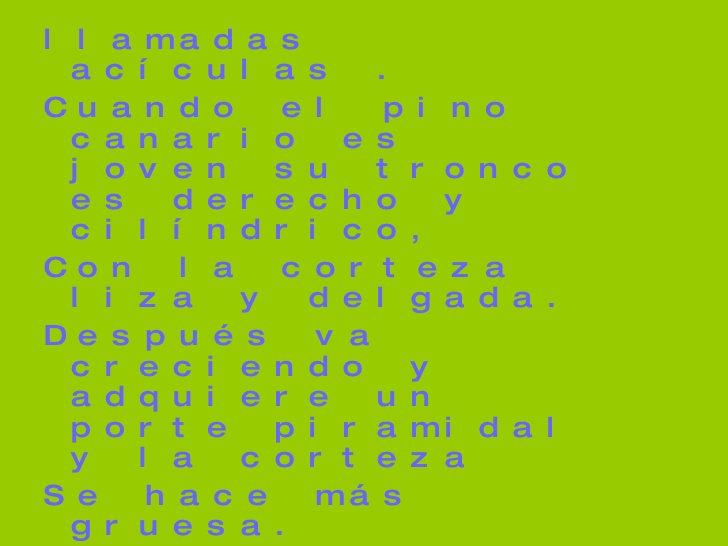 <ul><li>llamadas acículas . </li></ul><ul><li>Cuando el pino canario es joven su tronco es derecho y cilíndrico, </li></ul...
