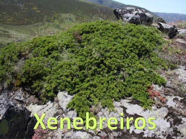 Xénero Juniperus Comprende entre 50 e 67 especies coñecidas como xenebreiros (os que teñen sempre follas xuvenís) ou sabin...