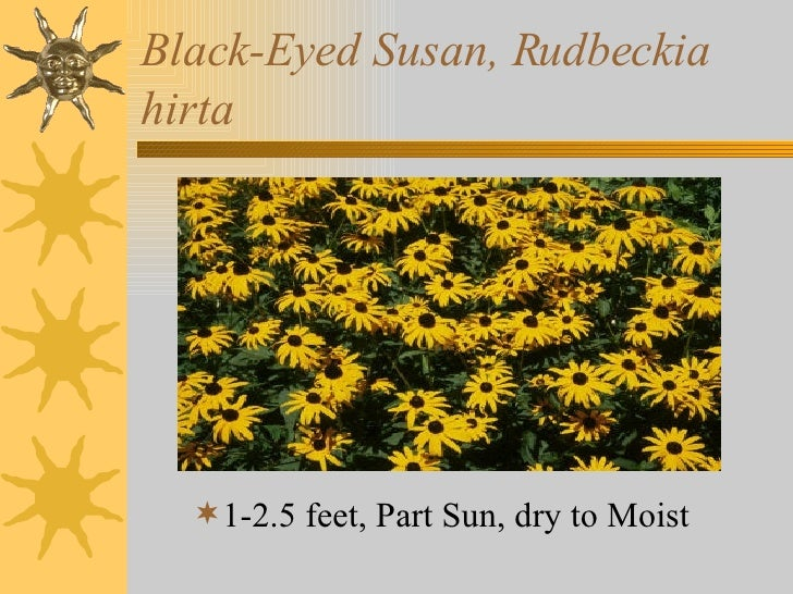 Black-Eyed Susan, Rudbeckia hirta <ul><li>1-2.5 feet, Part Sun, dry to Moist </li></ul>