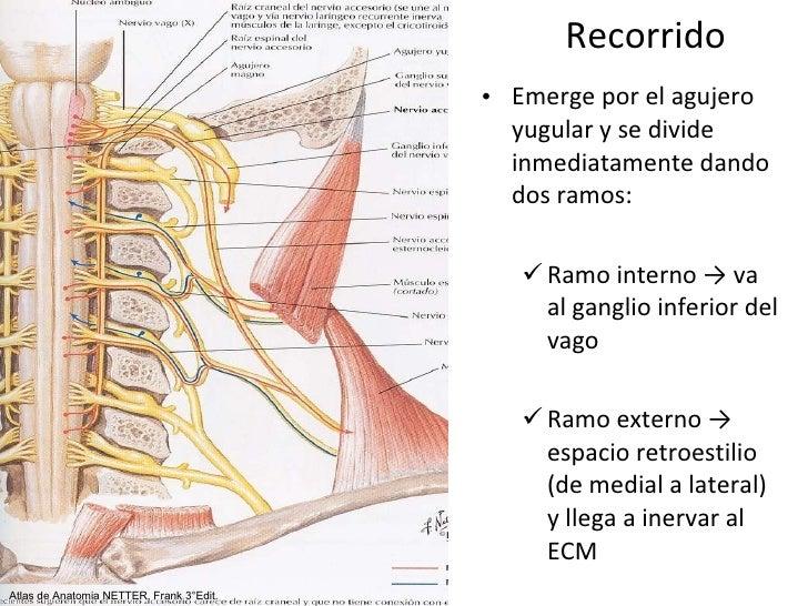 Hermosa Anatomía Del Nervio Espinal Composición - Anatomía de Las ...