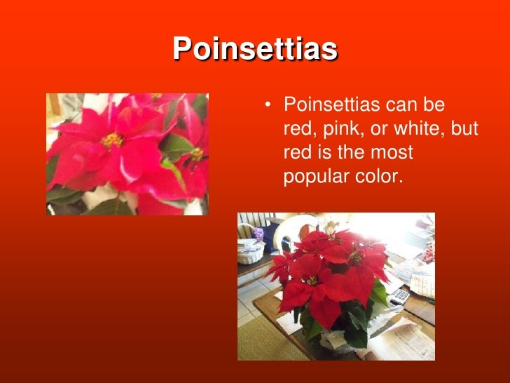 Poinsettias<br />Poinsettias can be red, pink, or white, but red is the most popular color. <br />