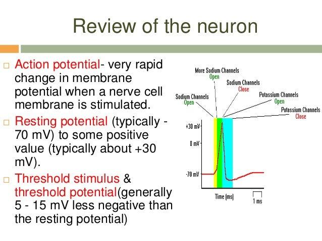 neuron action potential description
