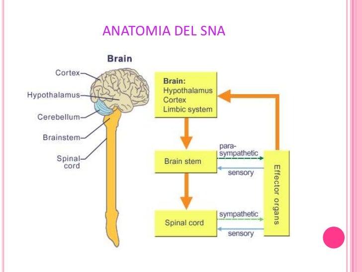 Exposicion Sistema Nervioso Autonomo (SNA)