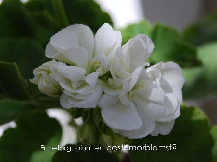 Er pelargonium en bestemorblomst?<br />
