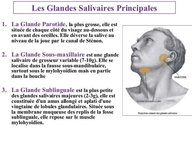 Les Glandes Salivaires Principales 1. La Glande Parotide, la plus grosse, elle est située de chaque côté du visage au-dess...