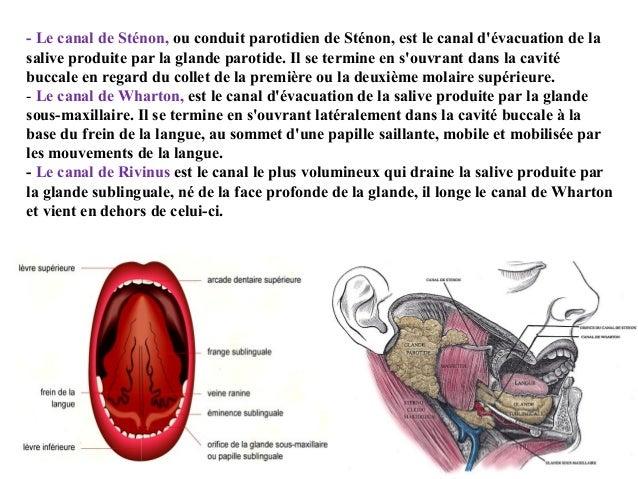 - Le canal de Sténon, ou conduit parotidien de Sténon, est le canal d'évacuation de la salive produite par la glande parot...